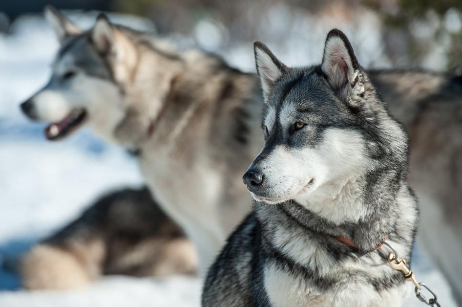 Hundeschlittenrennen-8749