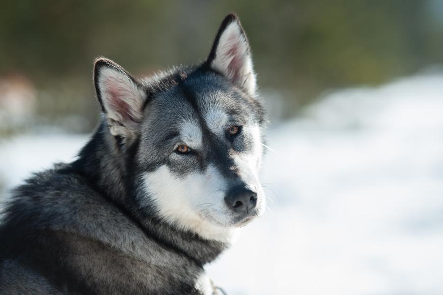 Hundeschlittenrennen-8776